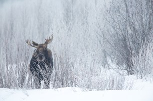 Bull moose in the willows